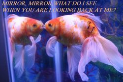 MirrorFISH