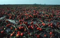 TomatoFieldAE