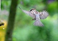 Fluttering Sparrow