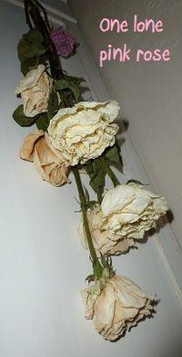 Lone pink rose