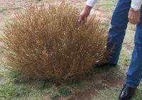 Tumbleweed hubby