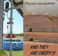 Grasshopper invasion again