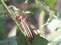 Blister beetle EatingPlant