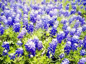 Bluetexasflowers