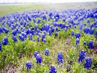 Bluetexasflowersfactory