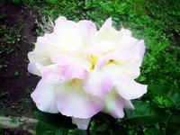 Rosepeacetingespink