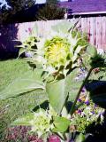 Flowersunfloweropening