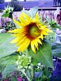 Flowersunflowerunfolding_2