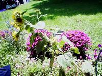 Sunflowerfallen_3