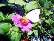 Butterflywhiteblackdot_2