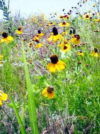 Meadowyellowconeflower1
