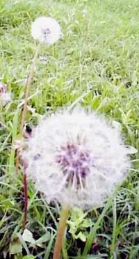 Dandelionpuff1
