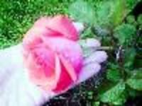 Rosedewdropjpg1