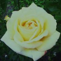 Flower1peacerose1